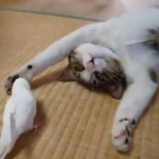 猫のことが好きで好きで仕方ないインコとまんざらでもない猫