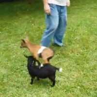 【動画】超ハイテンションな子ヤギが繰り出すとばっちりドロップキック
