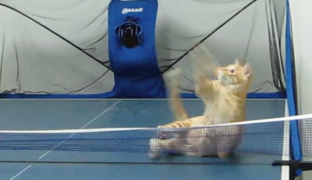 【動画】卓球の相手をしてくれる猫