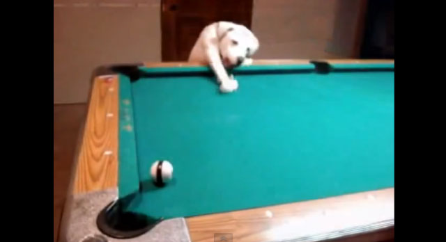 【動画】これは凄いぞ!ビリヤードが上手すぎる犬