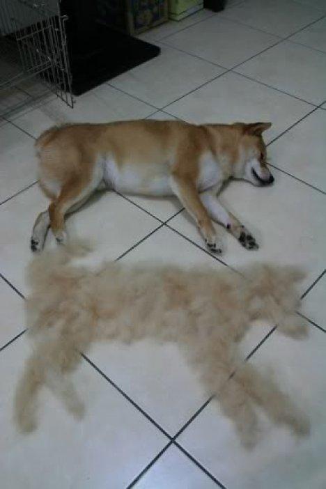 【小ネタ】「この時期の柴犬がどれだけ毛が抜けるか的確に表した画像」がTwitetrで話題に