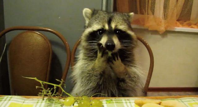 【動画】アライグマがブドウをムシャムシャ食べる動画