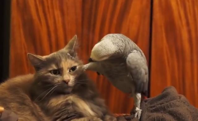 【動画】オウム「なんか文句あんのか?お?こっち見ろよコノヤロウ」 猫「ヒィ…。」