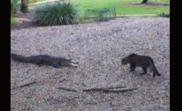 【動画】「ワニ vs 猫」ラストはちょっとビックリする展開でしたw