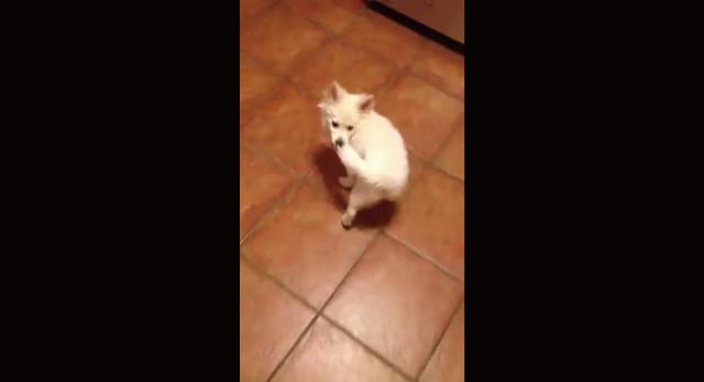 【動画】自分の尻尾を自分で引っ張って自分を運んでいく犬が可愛いwww
